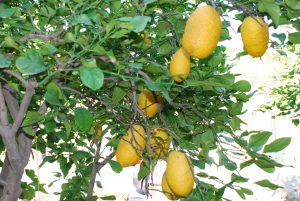 Lemons in Sicily; Photo by Francesco